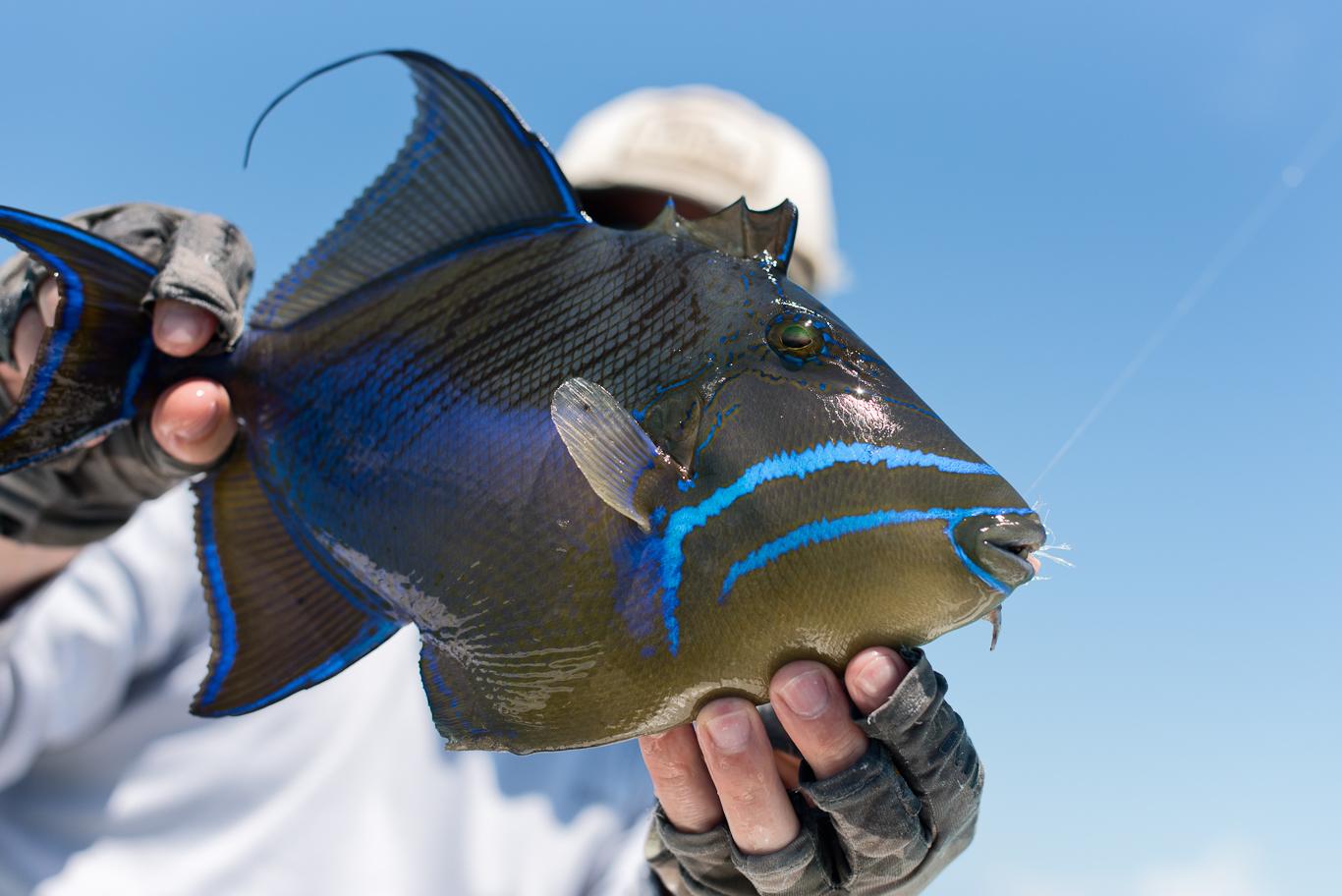 Triggerfish, Bahamas, Flyfishing, South Andros
